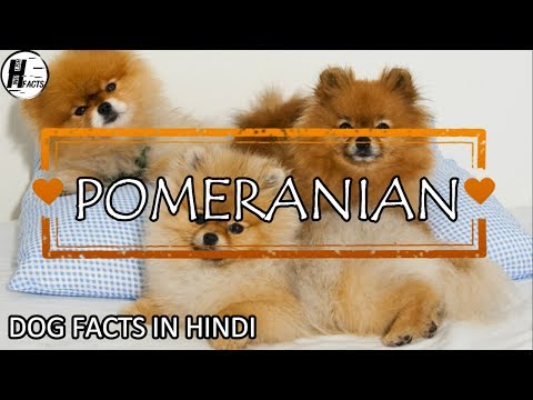 Pomeranian Spitz Puppies Sale In Delhi Ncr 7048966925 Pure