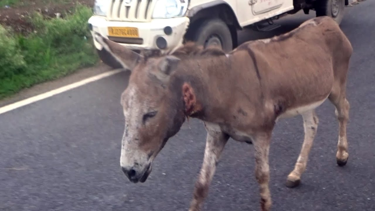 Tender-hearted donkey's neck wounded ear-to-ear, now rescued and healed.