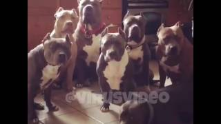 Поющие собаки