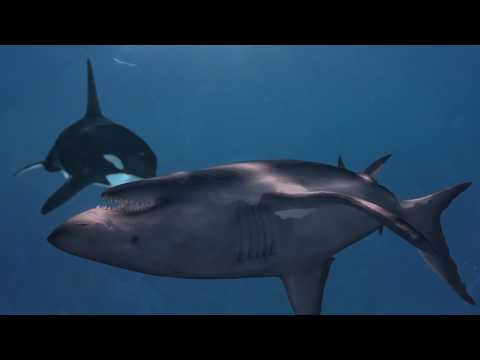 Killer whales hunting great white sharks in South Africa