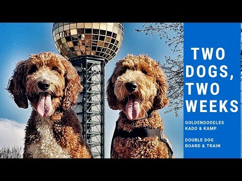 Knoxville Dog Trainers : Two Doodles, Two Weeks = Amazing Double Dog Obedience