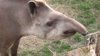 Tapir anta (Tapirus terrestris) - ZOO Zamość