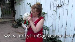 Lucky Pup Dog Rescue.com  Posie Maltese/poodle. San Diego, Ca
