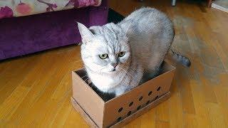 Кошачий VLOG: Готовимся к прививкам, кошки играют, смешные кошки