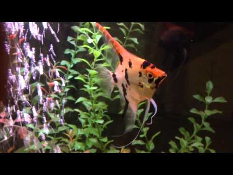 Angelfish Flicking Ventral And Dorsal Fins