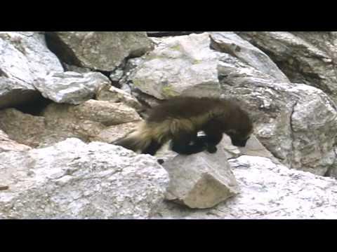 Wolverine Conservation