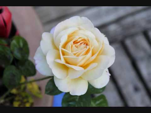 rose-blanche-pour-maman-boutrahi-ferhat