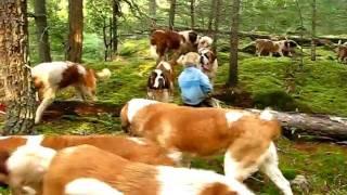 こんなにいると壮観だよね!42匹のセントバーナード犬が、森の中でお散歩なう
