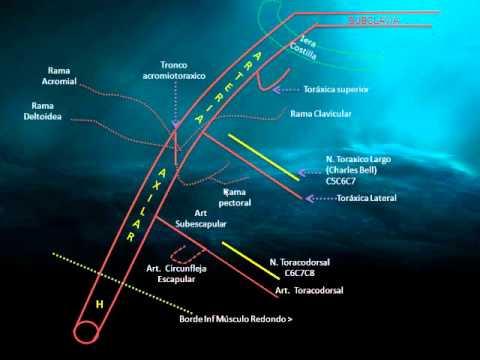 Descripción de la Arteria Axilar - Grupo Atlas - YouTube