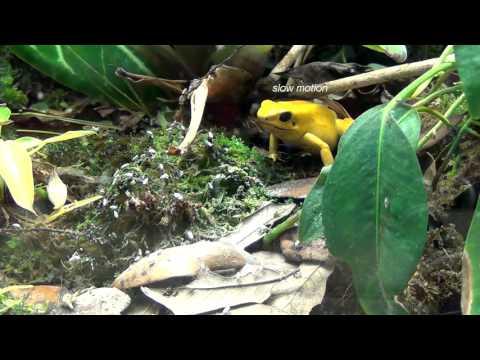 poison dart frogs of the tangled bank shorter