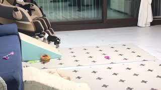 폼치(2달) vs 치와와(1년) 2 /밤이의 임보일기 …