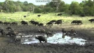 Bawoły afrykańskie w stadzie - świat zwierząt Afryki ,, Safari