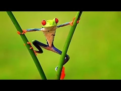 Fabulous Frogs § Frog Spirit Animal Part 1 Documentary  national geoghraphic HD 2016