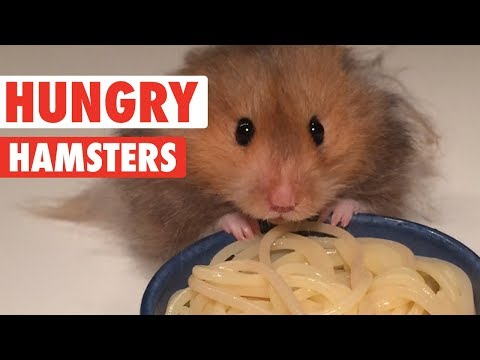 Hungry Hungry Hamsters | Funny Pet Videos 2018