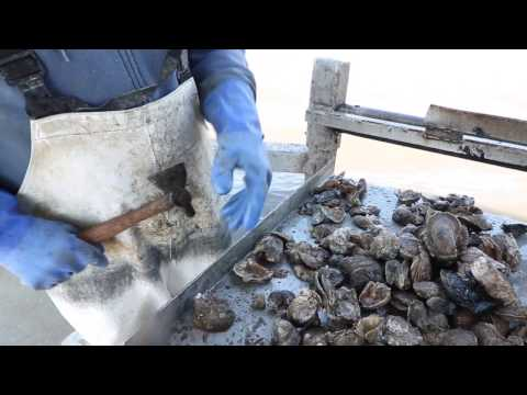 Harvesting oysters in Louisiana