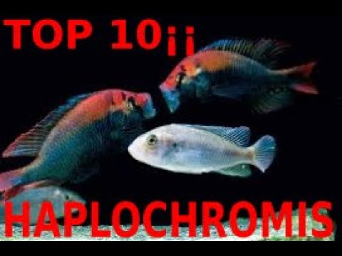 🐟🐠💓TOP 10 HAPLOCHROMIS OF LAKE VICTORIA🐟🐠💓 Only For Connoisseurs🐟🐠💓
