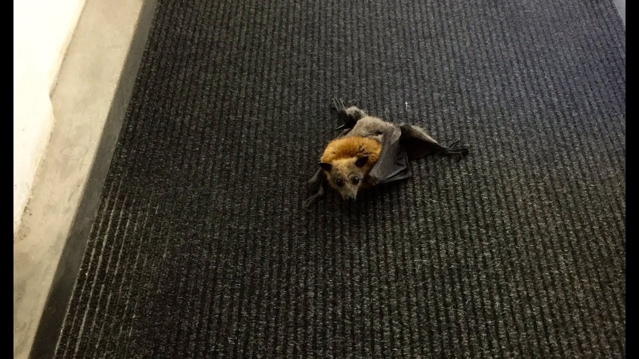 Rescue Of A Bat Tred In Courtyard Walkway This Is Cammie