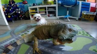 LEGWAN ZIELONY - Specyficzna ekscytacja psa legwanem