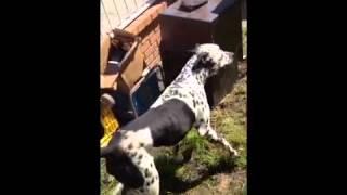 Snoopyboy Dalmation Pitbull