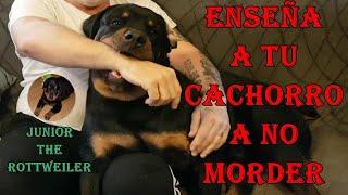 ENSEÑA A TU CACHORRO A NO MORDER 'JUNIOR THE ROTTWEILER'