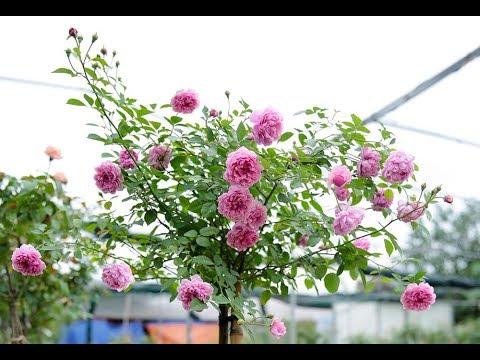 Hoa hồng tím cổ điển Sister Elizabeth rose | Hoa hồng  David Austin