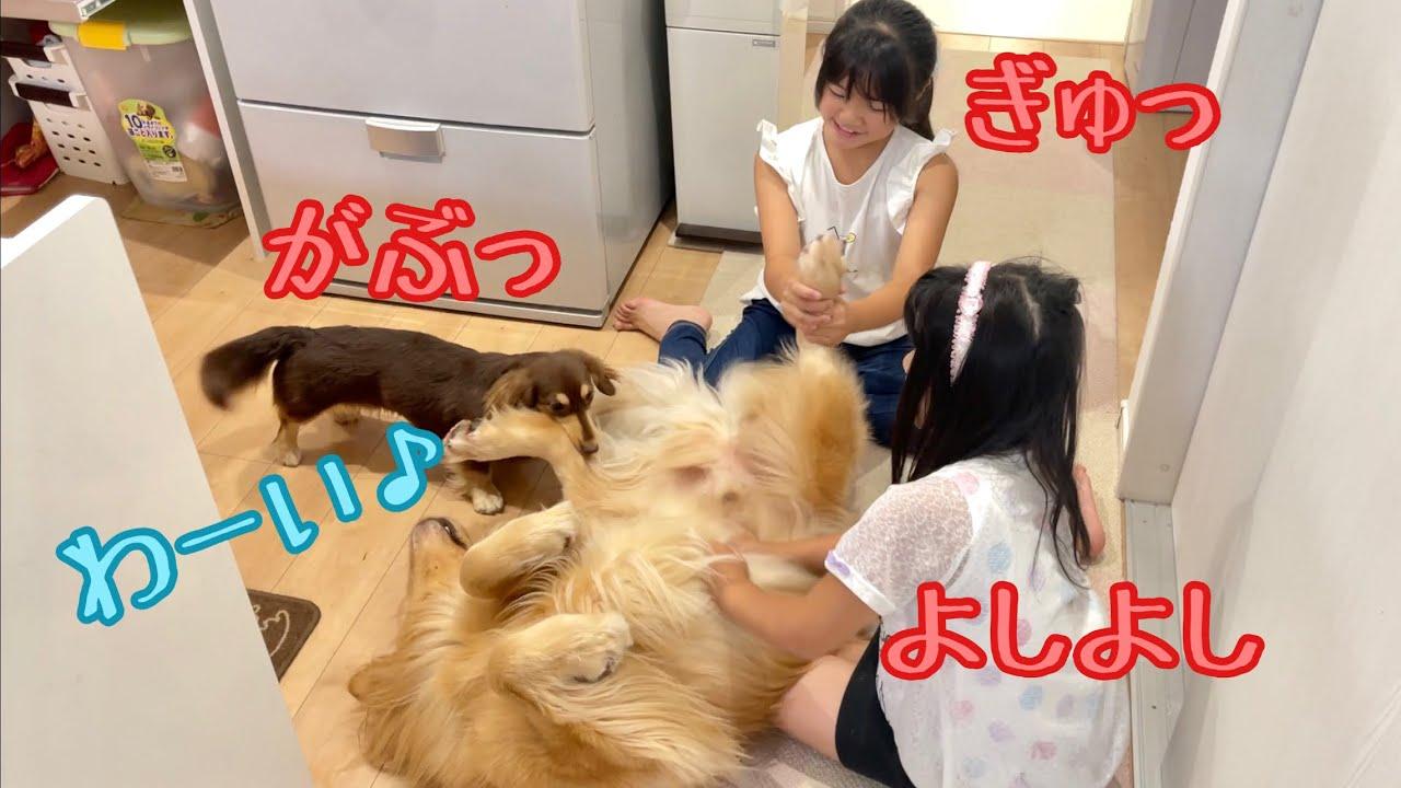 女子3人にイジられるのが嬉しくて、ヘソ天で喜びを表現する大型犬がこちらです。ゴールデンレトリバーのクッキーとミニチュアダックスフンドの子犬ショコラとの幸せな日常