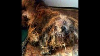 美しい長毛のラサ・アプソが世界一酷い姿に!?伸びきった毛の恐ろしい...