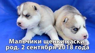 Предлагаем серо-белых щенков хаски мальчики, родились 2 сентября 2018 года