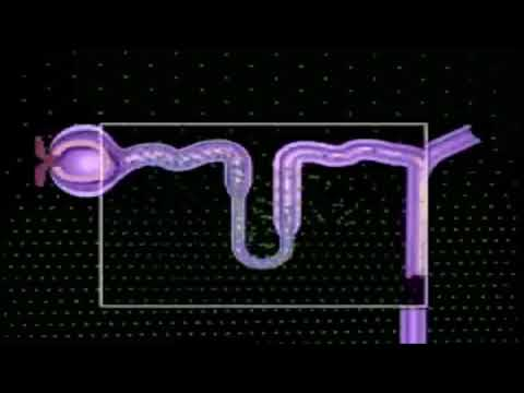 Function of the Nephron