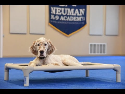 Hobbes (English Setter) Puppy Camp Dog Training Video Demonstration