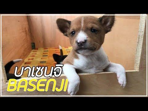 รู้จักสุนัขพันธุ์ บาเซนจิ (Basenji) สุนัขล่าเนื้อสุดน่ารัก!!