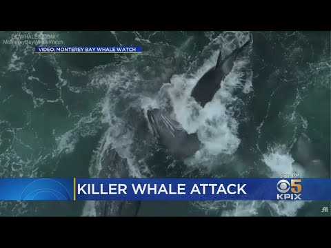 Video Captures Orca Attack On Young Gray Whale In Monterey Bay