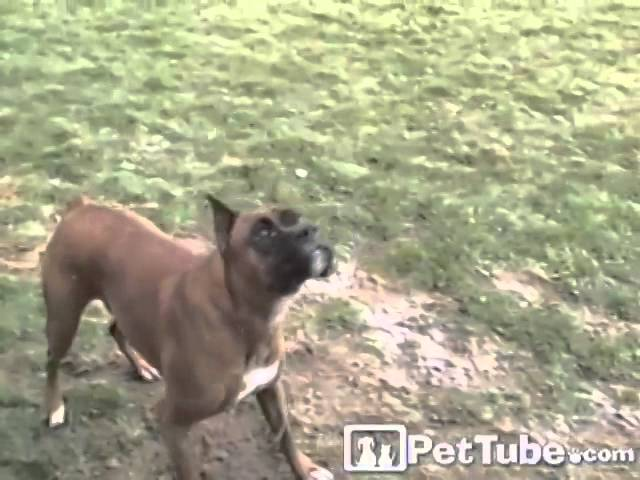 Boxer's First Snowflakes- PetTube