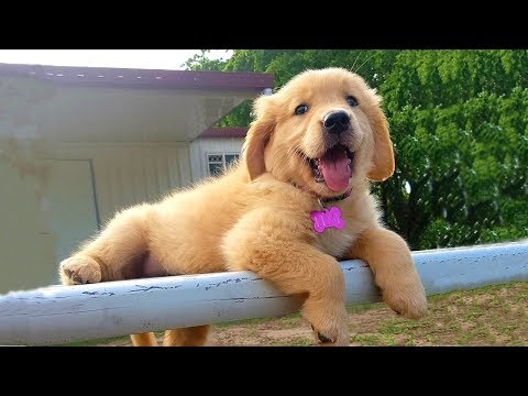 Cutest Golden Retriever Puppies Compilation #26 - YouTube