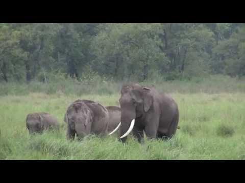 Asian Elephants in Jim Corbett National Park, India, 14 June, 2015