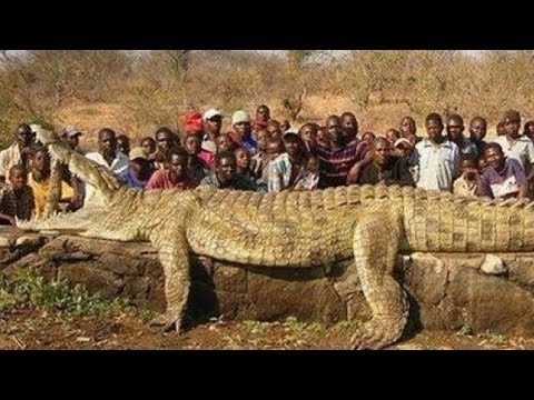 WORLDS BIGGEST CROCODILE Wild Nature YouTube - Meet worlds largest crocodile caught philippines