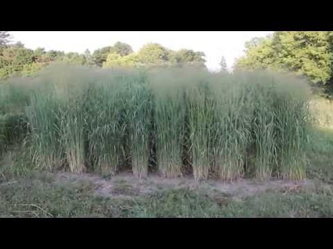 Breeding Improved Switchgrass for the Great Lakes Region