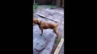 10 year old KANE/ DEAD GAME DOG!!!! RIP KANE!!!