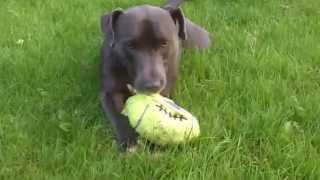 Staffordshire Bull Terrier Chester At A & B Dogs Boarding & Training Kennels.