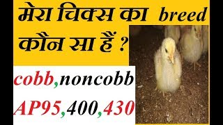 best poultry breed for new farmer to start their new boirler farm in india