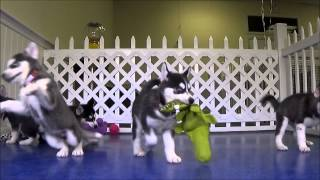 Playful Huskies - Check Out Their Blue Eyes!