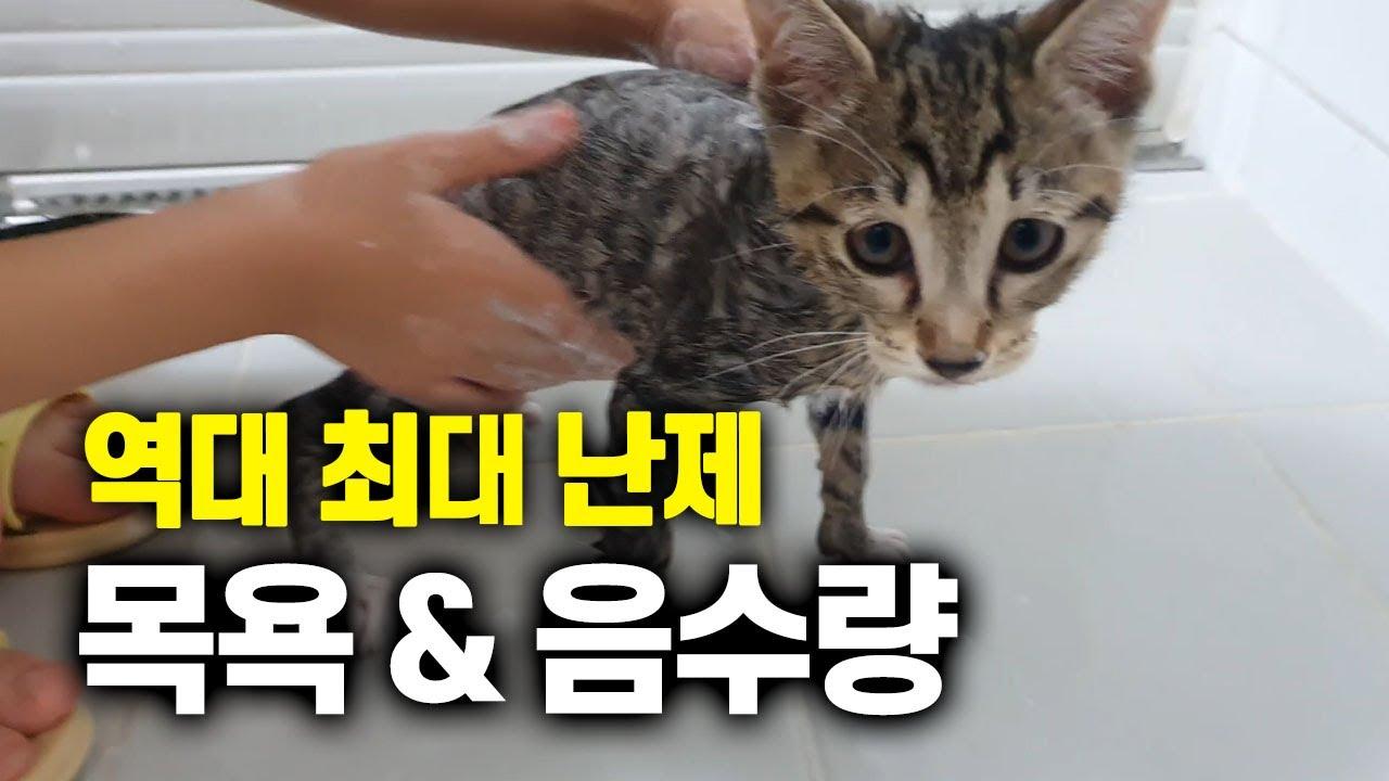 고양이 키울 때 최대 난제 목욕과 음수량 높이기 해결. 다슬이는 해냈어요!! 냥줍 후 첫 목욕