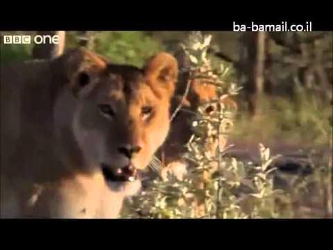 3 אנשים מול 15 אריות רעבים