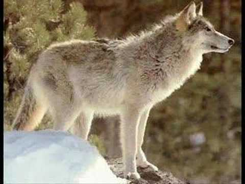 Animals Of The Wilderness Wolves 2 Youtube