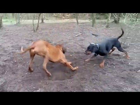 Doberman Vs Rhodesian Ridgeback Fight Catching