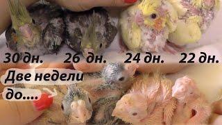 Когда птенцы попугаев покидают гнездо. Подрастающие птенцы попугаев корелл.