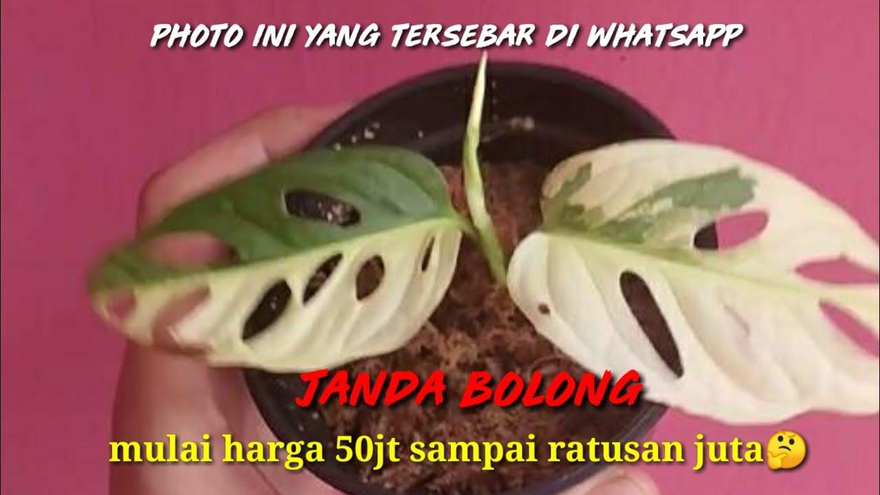 Harga Selangit Janda Bolong Janbol Harga Puluhan Juta Sampai Jutaan Viral Di Whatsapp Youtube