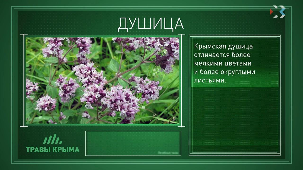 лекарственные травы крыма фото и описание очень важно, ведь