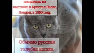 Факты о породе кошки русский голубой