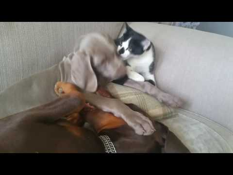 Animal Friends: Kitten and puppies playing